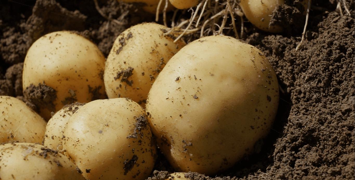 Patate nel campo Ortofrutticola Parma