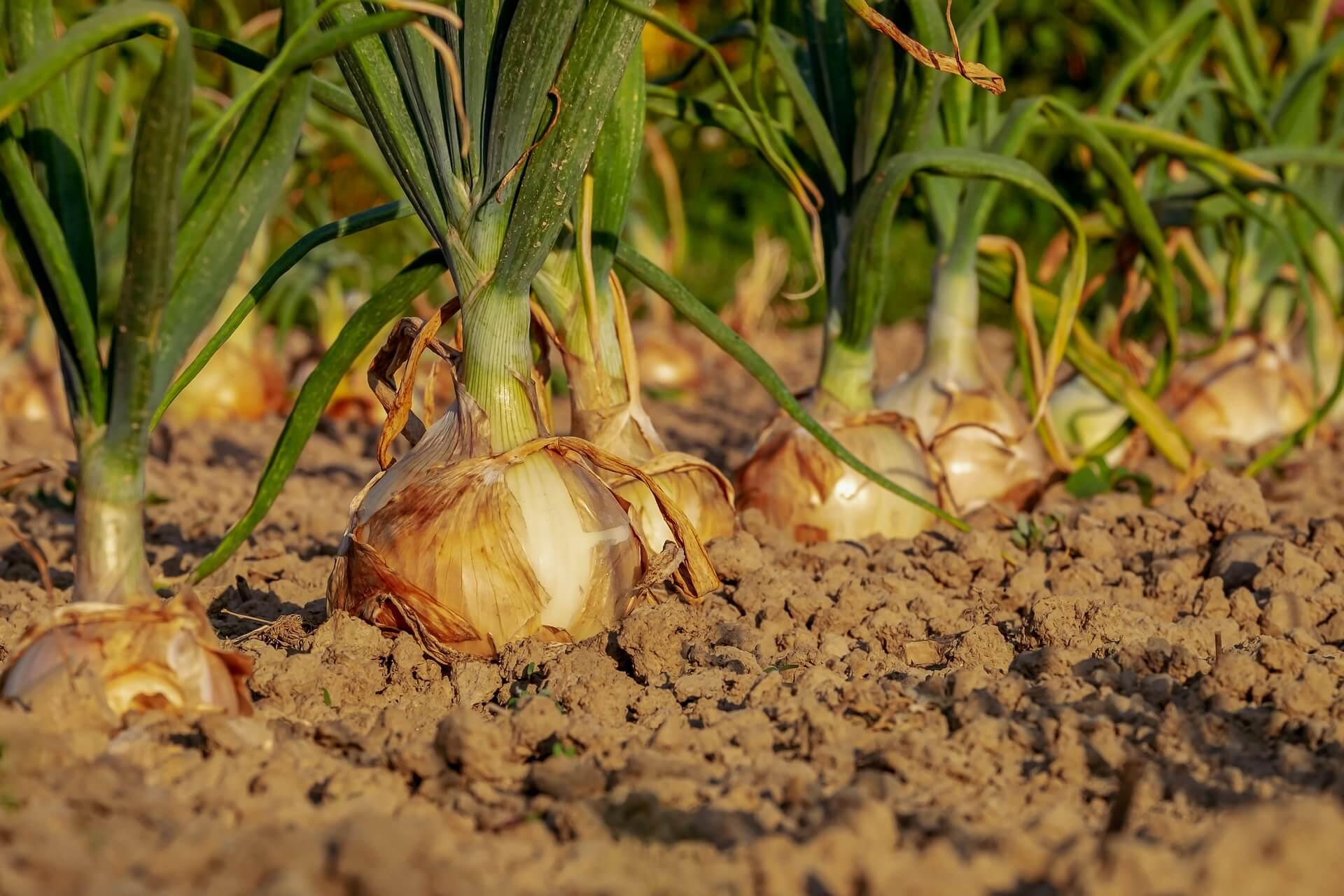 cipolle nel campo