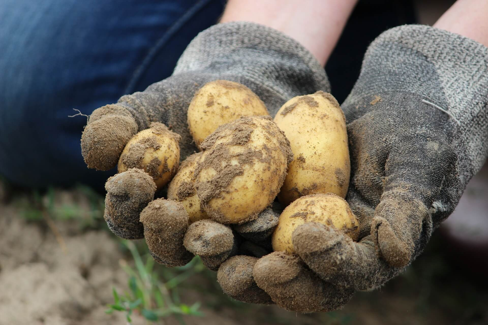 patate appena raccolte